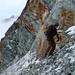 Versuch, in die Nordflanke der Crête du Plan einzusteigen, die weissen, brüchigen Felsen hat der Gletscher freigegeben...
