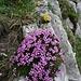 ... und weiteren Bergblumen