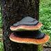 stilvoller Baumpilz