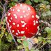 Der feuchte Boden ist ideal für Pilze. Fliegenpilz (Amanita muscaria)