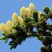 San Marino - Am Monte Titano ist heutzutage viel Grün zu finden. Hier sind einige Zapfen etwas näher herangezoomt, den dazugehörigen Baum sieht man gut im vorherigen Bild.