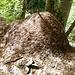Viele riesige Ameisenhaufen im Forstschutzgebiet