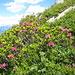 gelegentlich blühen auch die Alpenrosen schon