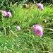 Scabiosa columbaria L. s.str.<br />Caprifoliaceae (incl. Dipsacaceae)<br /><br />Vedovina selvatica.<br />Scabieuse colombaire.<br />Gemeine Skabiose.