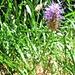 Phyteuma nigrum F. W. Schmidt<br />Campanulaceae<br /><br />Raponzolo nero.<br />Raiponce noire.<br />Schwarze Rapunzel.