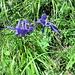 Aquilegia alpina L.<br />Ranunculaceae<br /><br />Aquilegia maggiore.<br />Ancolie des Alpes.<br />Alpen-Akelei.
