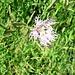Dianthus superbus L. subsp. superbus<br />Caryophyllaceae<br /><br />Garofano superbo a petali sfrangiati.<br />Oeillet superbe.<br />Pracht-Nelke.