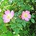 Rosa canina L.<br />Rosaceae<br /><br />Rosa selvatica comune.<br />Rosier des chiens.<br />Hunds-Rose.
