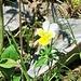 Viola lutea Huds.<br />Violaceae<br /><br />Viola gialla.<br />Pensée jaune.<br />Gelbes Alpen-Stiefmütterchen.