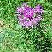 Centaurea nervosa Wild.<br />Asteraceae<br /><br />Fiordaliso alpino.<br />Centurée nervée.<br />Federige Flockenblume.