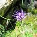 Phyteuma humile Gaudin<br />Campanulaceae<br /><br />Raponzolo del Carestia.<br />Raiponce naine.<br />Niedrige Rapunzel.