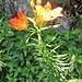 Lilium bulbiferum subsp. croceum (Chaix) Baker<br />Liliaceae<br /><br />Giglio croceo.<br />Lis safrané.<br />Bulbillenlose Feuerlilie.