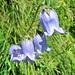 Campanula barbataL.<br />Campanulaceae<br /><br />Campanula barbata.<br />Campanule barbue.<br />Bärtige Glockenblume.