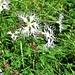 Dianthus superbus L. subsp. superbus<br />Caryophiyllaceae<br /><br />Garofano superbo a petali sfrangiati.<br />Oillet superbe.<br />Pracht-Nelke.
