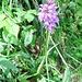 Dactylorhiza maculata (L.) Soò<br />Orchidaceae<br /><br />Orchide macchiata.<br />Orchis tacheté.<br />Geflecktes Knabenkraut.