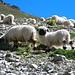 Schafwiese am Höhenweg