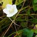Am Musfalle-Chopf: Sumpf-Herzblatt (Parnassia palustris L.)