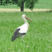 Ein Storch im Seetal.
