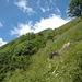 oberhalb der Waldgrenze beginnt der direkte Schlussaufstieg durch steiles Gras