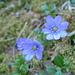 Hepatica nobilis (erba trinità o anemone epatica)