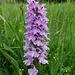 rund ums Brunnemoos finden wir einen üppigen Orchideenteppich vor