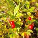 Beeren des schwedischen Hartriegels (Cornus suecica)