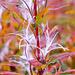 Vor den Teusajaurehütten: Weidenröschen im Herbstkleid (Epilobium angustifolium)