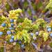 Schmackhafte Wacholderbeeren (Juniperus communis)
