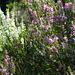 Blühendes Heidekraut (Erica) in allen Farben