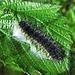 Junge Raupe der Saturnia pavonia, Kleines Nachtpfauenauge / Giovane bruco della Saturnia pavonia   (Heinz Pic)