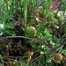 Gewöhnliche Moosbeere, Vaccinium oxycoccos, Frucht, essbar / frutto, commestibile