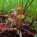 Eine ganze fleischfressende Familie: Rundblättriger Sonnentau (Drosera rotundifolia)<br /><br />Un intera familia carnivora della Drosera rotundifolia