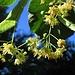 Lindenblüte, Tilia<br /><br />Jedes Jahr wieder....wenn die Linden blühen, wünsch ich mir diesen wunderschönen Duft in Dosen für den Winter:-)<br /><br />Ogni anno, quando sono in fiori i tigli, mi desidero il bellissimo profumo in lattina per l`inverno:-)