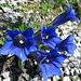 die Vegetation ist kark auf der Höhe - aber äusserst bunt und abwechslungsreich. Ausser Edelweiss hab ich so ziemlich alles an Alpenflora gefunden das ich kenne...