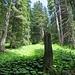 Durch diesen lauschigen Wald führt der SW-Aufstieg auf das Farenstöckli.