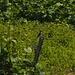 Neuntöter (Weibchen)