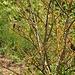 Links Neuntöter (Männchen und Weibchen oder Jungvogel). Rechts Amsel.