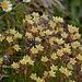 Alpenflora I