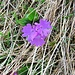 Primula integrifolia L.<br />Primulaceae<br /><br />Primula a foglie intere.<br />Primevère à feuilles entières.<br />Ganzblättrige Primel.