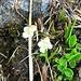 Pinguicula alpina L.<br />Lentibulariaceae<br /><br />Erba unta bianca.<br />Grassette des Alpes.<br />Alpen-Fettblatt.
