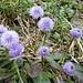 Nackstängelige Kugelblume (Globularia nudicaulis).  Die mehrjährige krautige Pflanze mit blattlosem Stängel (Name!) erreicht Wuchshöhen zwischen 5 bis 25 Zentimetern. Die Laubblätter werden 5 bis 9(bis 15) cm lang und sind 1 bis 2,5 cm breit. Das Blütenköpfchen wird 18 bis 25 mm breit. Die blauvioletten Kronblätter werden 10 bis 12 mm lang, oft mit verkümmerter Oberlippe. Laubblätter meist verkehrt-eilanzettlich, allmählich in den Laubblatt-Stiel verschmälert, an der Spitze abgerundet bis seicht ausgerandet. Die Blüten sind in großer Zahl zu einem kugeligen Köpfchen vereinigt, dadurch Signalwirkung für Bestäuber. Die Blütenkronröhre ist so eng, dass ihn nur Falter mit ihren dünnen Rüsseln erreichen. Blütezeit Juni bis Juli.