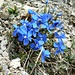Frühlings-Enzian (Gentiana verna).