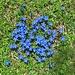 feine blaue Blümchen im saftigen Grün