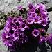schönste weitere Alpenblumen