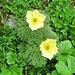 Pulsatilla alpina subsp. apiifolia (Scop.) Nyman Ranunculaceae  Pulsatilla sulfurea. Pulastille soufrée. Schwefel-Anemone.