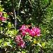 Der findet die Alpenrose nochmal interessanter als ich