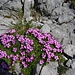 Laimkraut lockert auch die kahlste Felswand auf