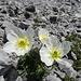 Fast in keinem Alpenblumen Bestimmungsbuch zu finden: Der Alpenmohn. Nette Besondernheit: In den Nordalpen blüht er weiß, in den Südalpen gelb.