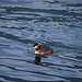 Haubentaucher auf dem Lago Maggiore