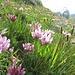 Alpen-Klee (Trifolium alpinum)